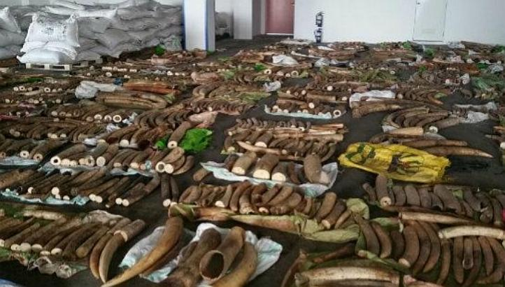 1,783 pieces of raw ivory tusks, 4 pieces of rhinoceros horns and 22 pieces of canine teeth believed to be from African big cats were concealed among bags of tea dust.