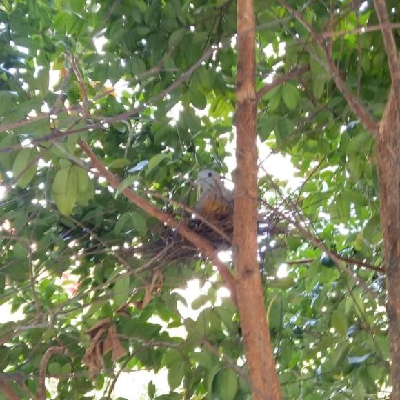 pink-necked-green-pigeon-nest