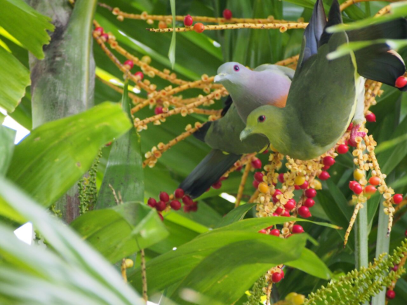 Pink Necked Green Pigeon Pair 1.png